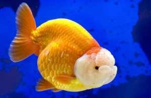 狮子头金鱼烂头的症状及治疗方法